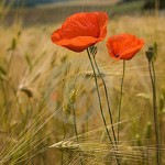 ChdeF_picture-poppy_wheat